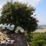 Priene - leaning tree