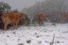 Cold Cows