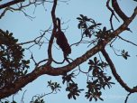 Essequibo - Howler Monkey
