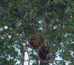 Essequibo - Howler Monkey and baby