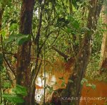 Essequibo - vegetation (3)
