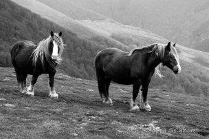 Horses B&W