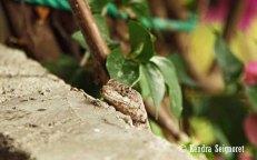 Lizard - Alive