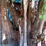 El Árbol del Tule (5)