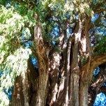 El Árbol del Tule (6)
