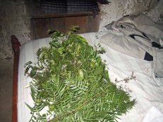The leafy fronds used in the temazcal