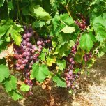 vineyards (2)