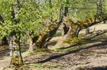 chestnut forest