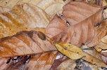 Yarra - leaves and leaf bug