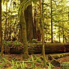 Cathedral Grove - fallen trees (1)