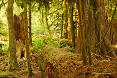 Cathedral Grove - fallen trees (2)
