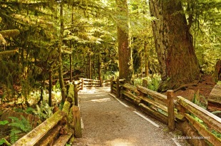 Cathedral Grove - pathways (2)