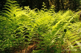 Cathedral Grove - plants (1)