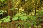 Cathedral Grove - plants (2)