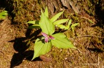 Cathedral Grove - plants (3)