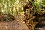 Cathedral Grove - roots (1)