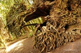 Cathedral Grove - roots (2)
