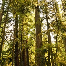 Cathedral Grove - tall trees (1)