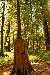Cathedral Grove - tree within a tree