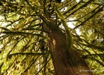 Cathedral Grove - trees with beards (1)