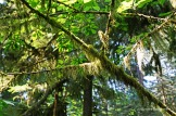 Cathedral Grove - trees with beards (2)