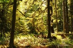 Cathedral Grove - trees with beards (3)