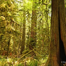 Cathedral Grove - trees with holes (1)