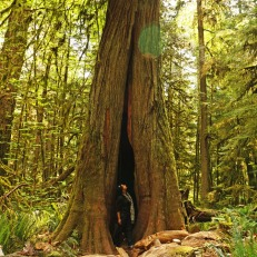 Cathedral Grove - trees with holes (2)