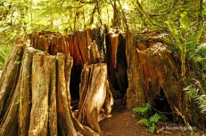Cathedral Grove - vandalized trees (2)