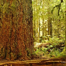 Cathedral Grove - wide trees (1)