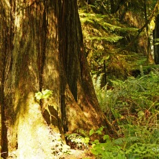 Cathedral Grove - wide trees (2)